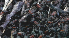 Red ants on their mount Stock Footage