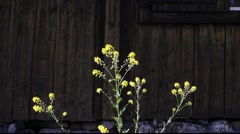 Yellow flower in front of a blockhouse Stock Footage