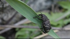 Pine weevil beetle - stock footage