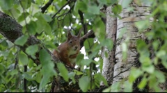 Red squirrels in a tree Stock Footage