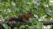 Stock Video Footage of Red squirrels in a tree