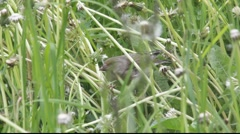 Greenfinches picking dandelion seeds Stock Footage