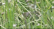 Stock Video Footage of Greenfinches picking dandelion seeds