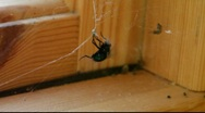 Fly being caught in a spider's web Stock Footage