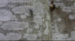 Longhorn beetle on a tree 1 Stock Footage