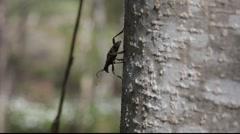 Longhorn beetle on a tree 2 Stock Footage