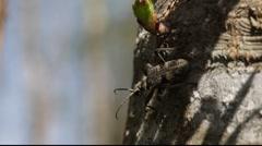 Longhorn beetle on a tree 4 Stock Footage