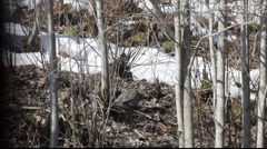 Hazel grouses in spring 2 Stock Footage