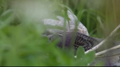 Snake lying on a stone 1 Stock Footage
