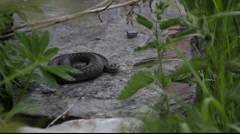 Snake lying on a stone 2 Stock Footage