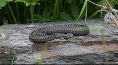 Snake lying on a stone 6 Stock Footage
