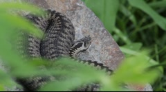 Snake lying on a stone 8 Stock Footage