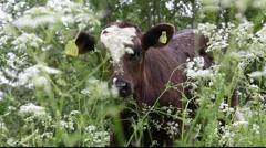 Calf peering through flowers Stock Footage