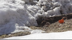 Bank vole in winter 2 Stock Footage