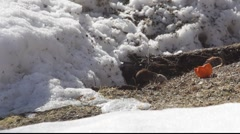 Bank vole in winter 3 Stock Footage