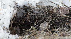 Bank vole in winter 4 Stock Footage