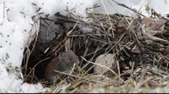 Bank vole in winter 5 Stock Footage