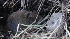 Bank vole in winter 9 Stock Footage