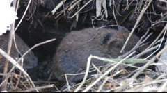 Bank vole in winter11 Stock Footage