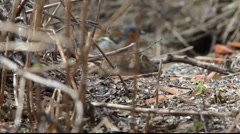Bank vole searching food Stock Footage