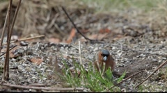 Eurasian bullfinch (Pyrrhula pyrrhula) searching food Stock Footage