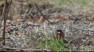 Stock Video Footage of  Eurasian bullfinch (Pyrrhula pyrrhula) searching food