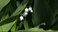 Lily of the valley (Convallaria majalis) in spring Stock Footage