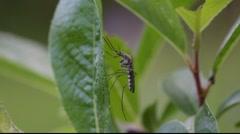 Mosquitoe lepää lehtiä. Arkistovideo