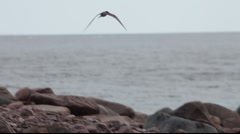 Arctic Terns circling over a  rocky coast Stock Footage