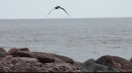 Stock Video Footage of Arctic Terns circling over a  rocky coast