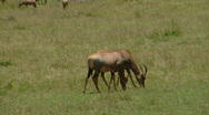 Antelope P2 Stock Footage