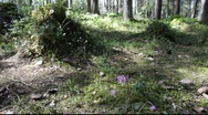 Stock Video Footage of Calypso orchids (Calypso bulbosa)