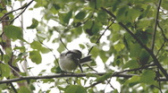 Stock Video Footage of White wagtail (Motacilla alba) sitting in a birch