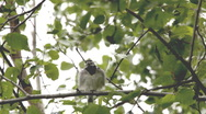 Stock Video Footage of Bird pluming itself in a tree