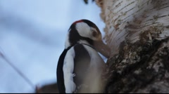 Great spotted woodpecker (Dendrocopus major) Stock Footage