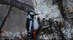 Great spotted woodpecker using birch bark as help to open seeds - stock footage