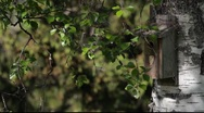 Stock Video Footage of Couple of European pied flycatchers (Ficedula hypoleuca)