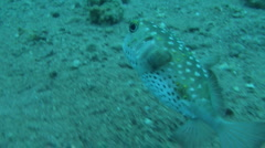 pufferfish 1 - stock footage