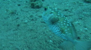 Stock Video Footage of  pufferfish 1