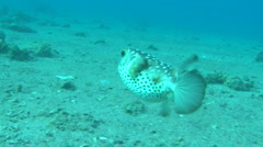 pufferfish 2 - stock footage