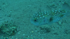 pufferfish 3 - stock footage