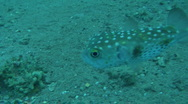 Stock Video Footage of  pufferfish 3