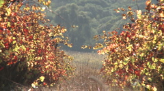 Static view of autumn colours in wine vineyard Stock Footage