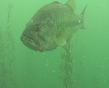 Big Bass Stock Footage