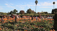 Stock Video Footage of Pumpkin Patch (establishing shot)