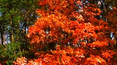 Tilt up Autumn Tree - stock footage