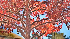 T300 tree HDR video fall autumn Stock Footage