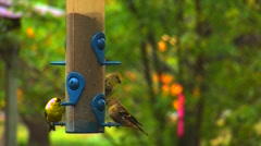 Finches at a Bird Feeder - stock footage