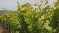 Wine vineyard Stock Footage