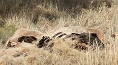 Dead animal in field bones P HD 8050 - stock footage